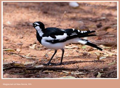 Male Magpie Lark