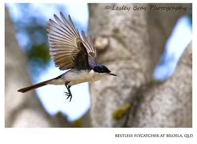 Restless Flycatcher in Flight
