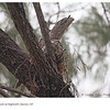 Tawny Frogmouth & Chick