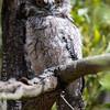 Tawny Frogmouth (juv)