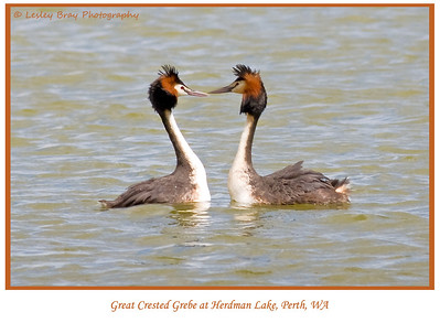 In love Great Crested Grebes, Podiceps cristatus, in breeding colours at Herdsman Lake in Perth, Western Australia.   Photographed September 2011 - © 2011 Lesley Bray Photography - All Rights Reserved.  Do not remove my signature from this image. Sharing only with credit please.