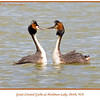 In love Great Crested Grebes, <i>Podiceps cristatus</i>, in breeding colours at Herdsman Lake in Perth, Western Australia. <br><br>  Photographed September 2011 - © 2011 Lesley Bray Photography - All Rights Reserved. <br><br> Do not remove my signature from this image. Sharing only with credit please.
