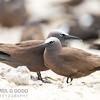 Common (Brown) Noddy