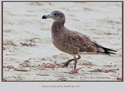 Immature Pacific Gull