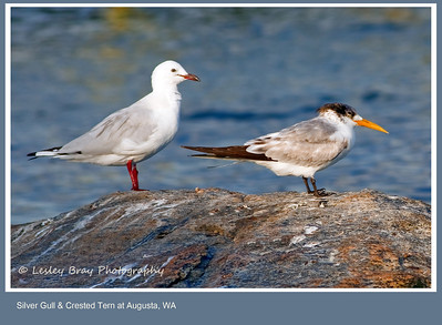 Silver Gulls & Crested Tern