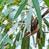Black-chinned Honeyeater (imm)