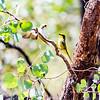 Fuscous Honeyeater, Yellow-tufted Honeyeater