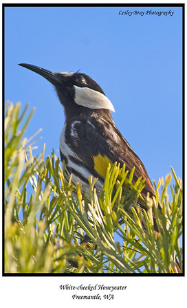 White-cheeked Honeyeater