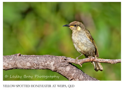 Yellow-spotted Honeyeater