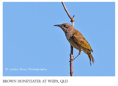 Brown Honeyeater