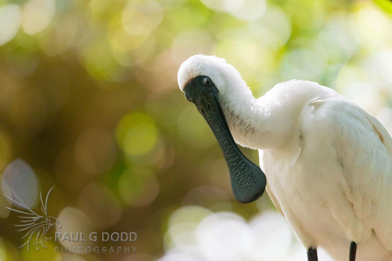 Royal Spoonbill (captive)