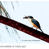 Sacred Kingfisher with Crab