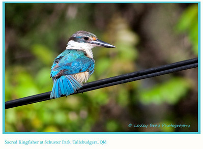 Tree Kingfishers