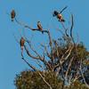 Black Kite, Whistling Kite