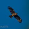 Little Eagle (dark morph)