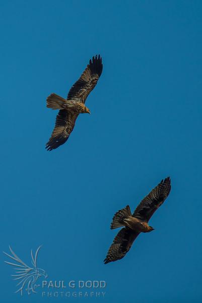 Whistling Kite, Little Eagle