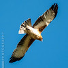 Little Eagle (pale morph)