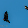 Wedge-tailed Eagle, Whistling Kite