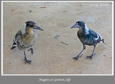 Immature Australian Magpies