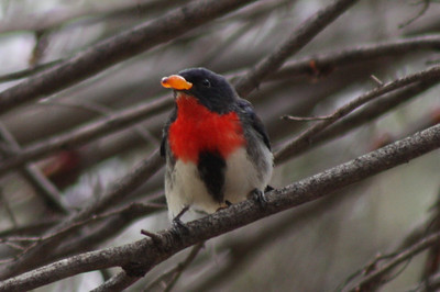 Ayres Rock Resort, near Uluru, Central Australia, August 2008.  This bird has a black beak, it is eating an orange berry.