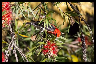 Male Scarlet Myzomela