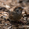 Eurasian Tree Sparrow (fledgling)
