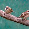 Eurasian Tree Sparrow, House Sparrow