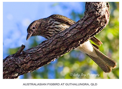 Female Australasian Figbird - Intergrade