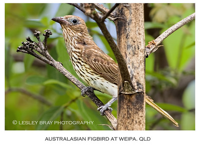 Female Australasian Figbird - Northern Form