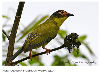 Male Australasian Figbird - Northern Form