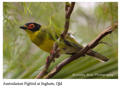 Male Australasian Figbird - Intergrade