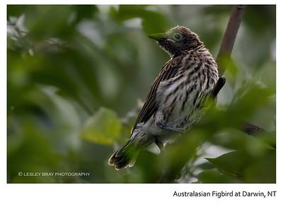 Juvenile Australasian Figbird - Northern Form
