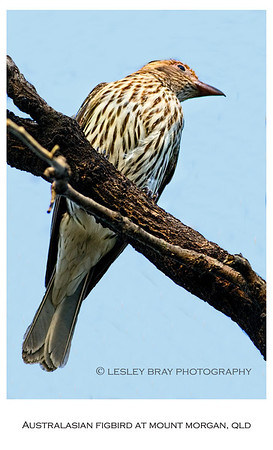 Female Australasian Figbird - Southern Form