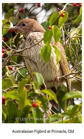 Female Australasian Figbird