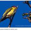 Male Australasian Figbird - Northern Form