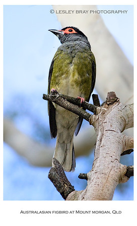 Male Australasian Figbird - Southern Form