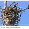 Juvenile Eastern Osprey in Nest