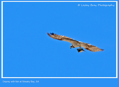 Eastern Osprey with Fish