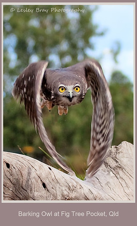 Barking Owl in Flight