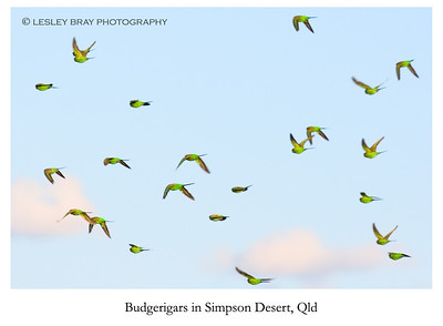 Budgerigars in Flight