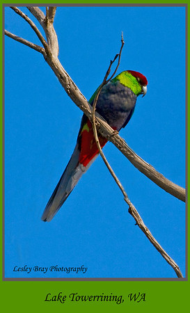 Male Red-capped Parrot
