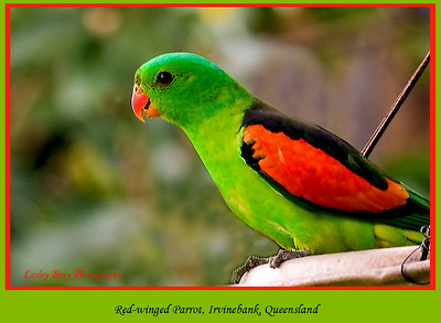 Male Red-winged Parrot