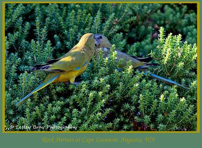 Rock Parrots