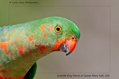 Juvenile Male King-Parrot