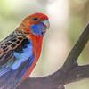 Crimson (Adelaide) Rosella (captive)