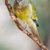 Red-rumped Parrot (captive)