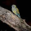 Red-rumped Parrot (fem)