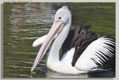 Juvenile Australian Pelican