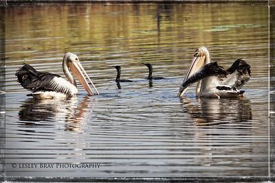 Australian Pelicans & Black Cormorants