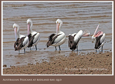 Australian Pelicans in a Row